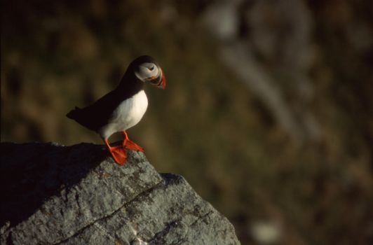 puffin 2 by bentota-stock