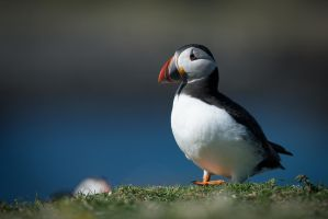 puffin by schneids