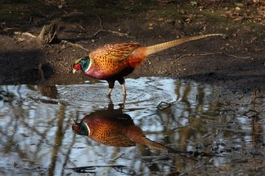 Common Pheasant by cycoze