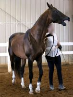 bay akhal-teke stallion 1 by venomxbaby