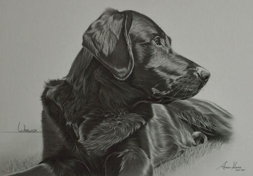 Commission - Labrador 'Warwick' by Captured-In-Pencil