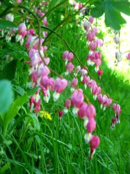 .: Bleeding Hearts :. by Delight046