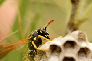 wasp on nest by blackasmodeus