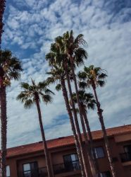 Palm Trees At The Hotel I Was Staying At In Califo by bomsteinam