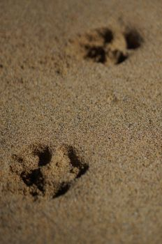Dog pawprints in the sand by darthsabe