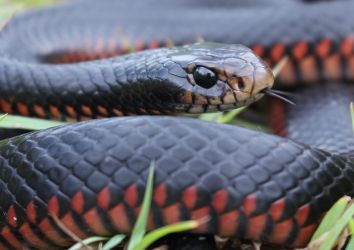 Red-Bellied Blacksnake (Pseudechis porphyriacus) by SnakeOutBrisbane