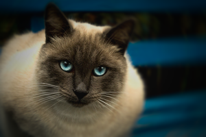 The Blue-eyed Cat by Kittengrapher