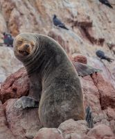 South American Sea Lion - Ballestas Islands by TarJakArt