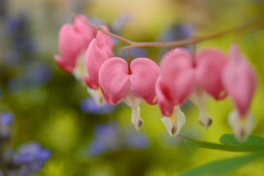 Bleeding Hearts by Tracys-Place