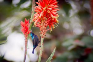 Palestine Sunbird by rat-or-rat