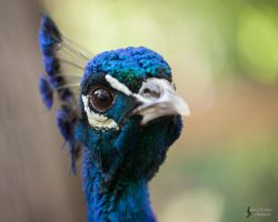 Peacock 4 by EdgedFeather