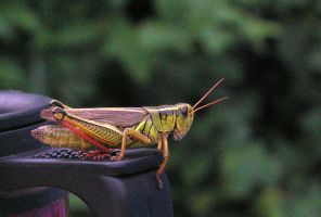 Grasshopper by JocelyneR
