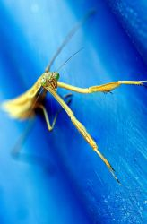 Preying Mantis by halfhandau