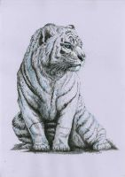 white tiger by Concini
