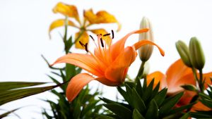 Orange Hybrid Lily on a Dreary Day WP by richardxthripp