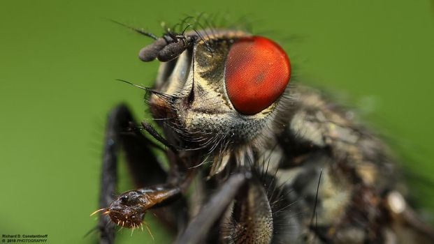 House fly by RichardConstantinoff