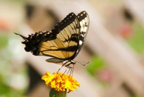Eastern Tiger Swallowtail by caressofsteel