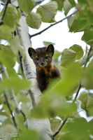 American marten in aspen tree 2 by themanitou