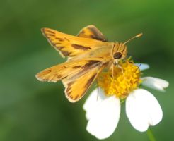 Fiery Skipper on Flower 2 by Larah88