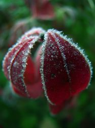 First Frost by EmersonStem