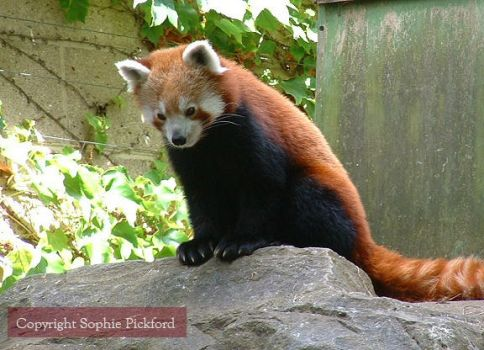 Red Panda Whats that? by ShiverZPhotography