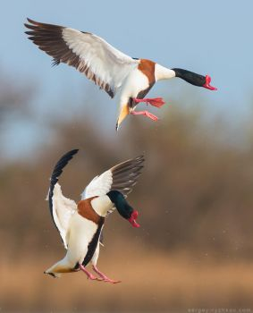 Two common shelducks in flight by Sergey-Ryzhkov