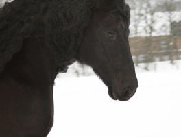 friesian in motion - close up by Nexu4