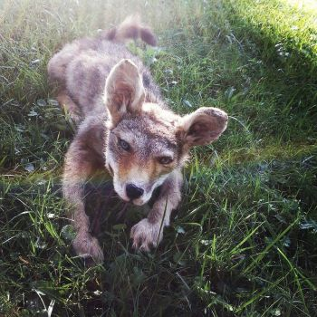 Daisy, Coyote puppy soft mount SOLD by psychische
