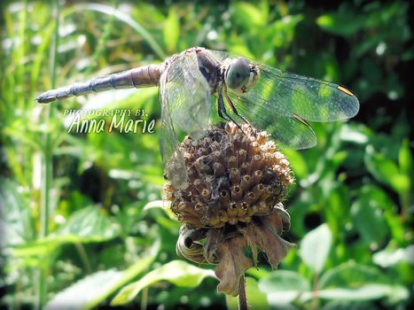 Dragonfly by AnnaM157