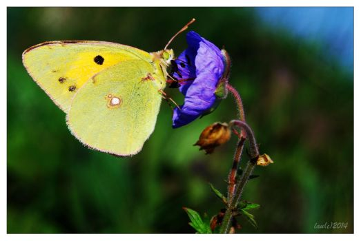 Yellow Butterfly on Blue Flower by vendoritza