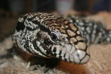 Image result for black and white tegu baby