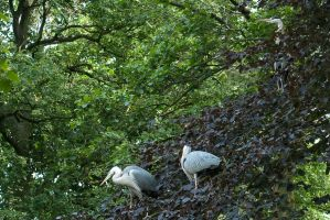 Herons Tree by steppeland