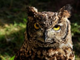 Horned Owl Wallpaper by cycoze