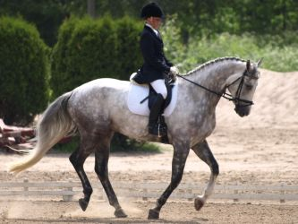 Grey dressage warmblood by wakedeadman