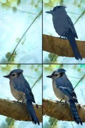 Blue Jay Study Process by AaronGriffinArt