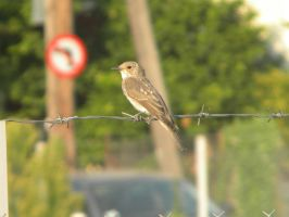 Spotted Flycatcher by kailor