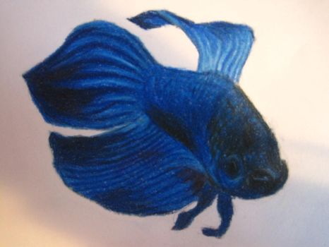 betta fish by maggie14and1