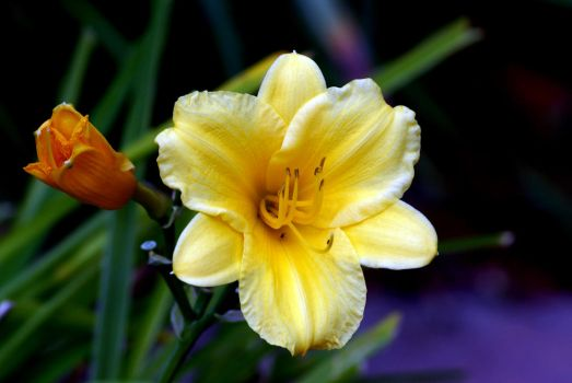 Yellow Beauty by Riphath