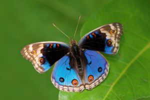 Blue Pansy 260509 by inckurei