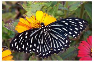 Butterfly 136 (Common Mime) by kiew1