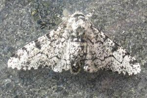 Peppered Moth by moonhare77