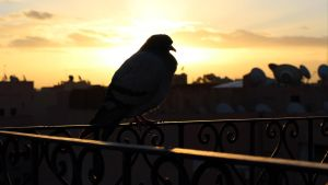 Prolific pigeon by Jasper-M