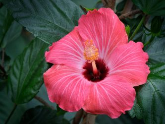Hibiscus by mrh