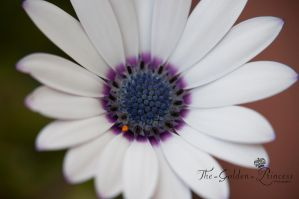 Daisy Flower 3 .. by The-Golden-Princess
