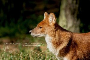 Asiatic Wild Dog by guitarjohnny