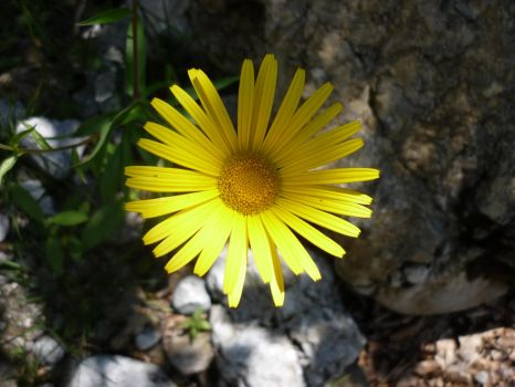 yellow flower in the stream bed by Pit7