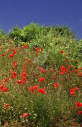 Poppies by Miss-Jessie-Obscured