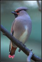 Japanese Waxwing by nitsch