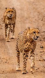 Cheetah Brothers by PhilippeduPreez