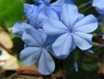 Blue Flower by StewartSteve